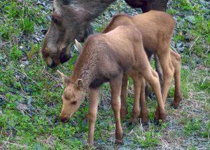 Highest Moose Concentration